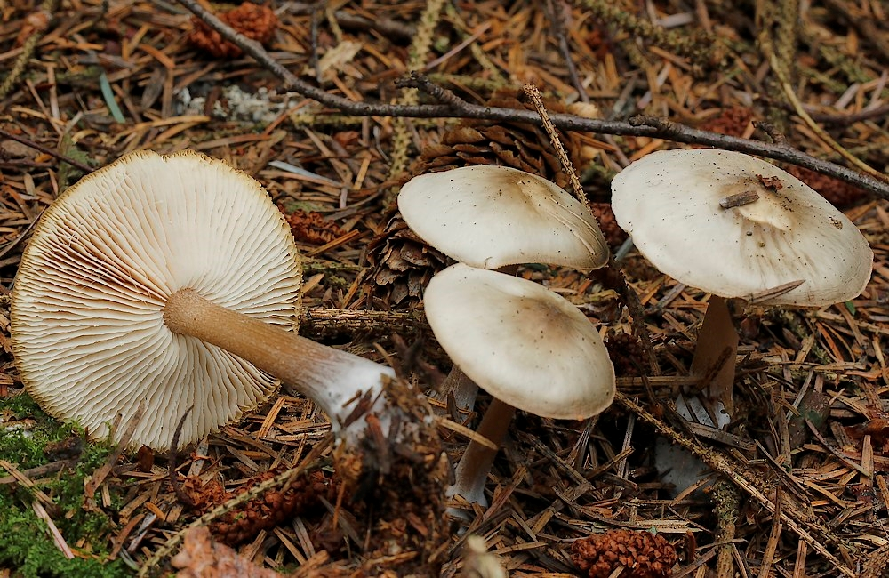 Foto/billede af Horngrå Fladhat (Rhodocollybia butyracea f. asema)