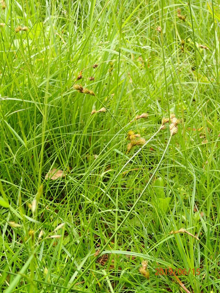 Foto/billede af Hare-Star (Carex ovalis)