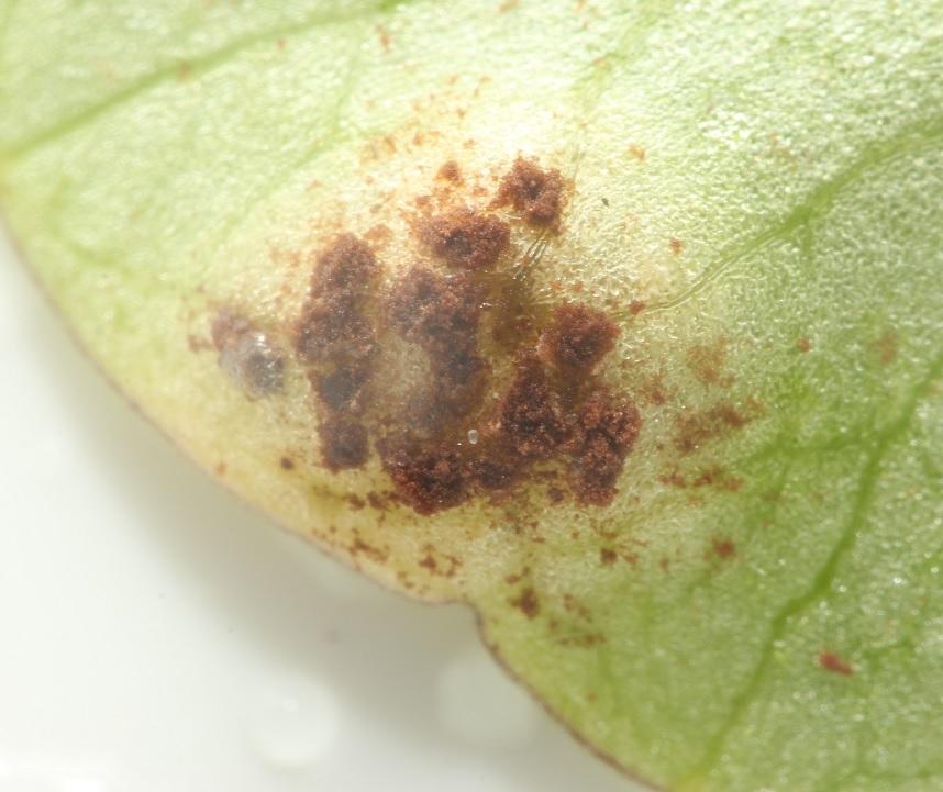 Foto/billede af Vorterodrust (Uromyces ficariae)