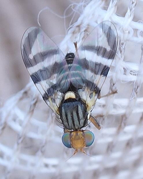 Havtornflue
