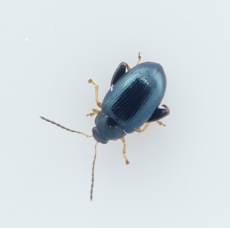 Psylliodes laticollis (Psylliodes laticollis)