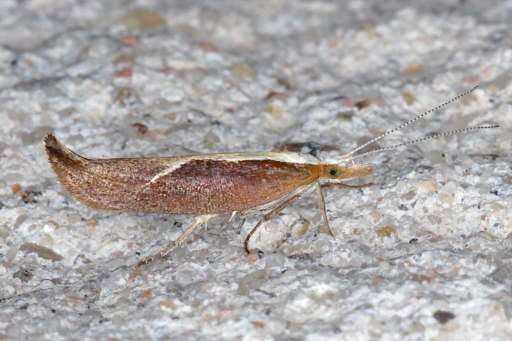 Foto/billede af Snudegedebladmøl (Ypsolopha dentella)