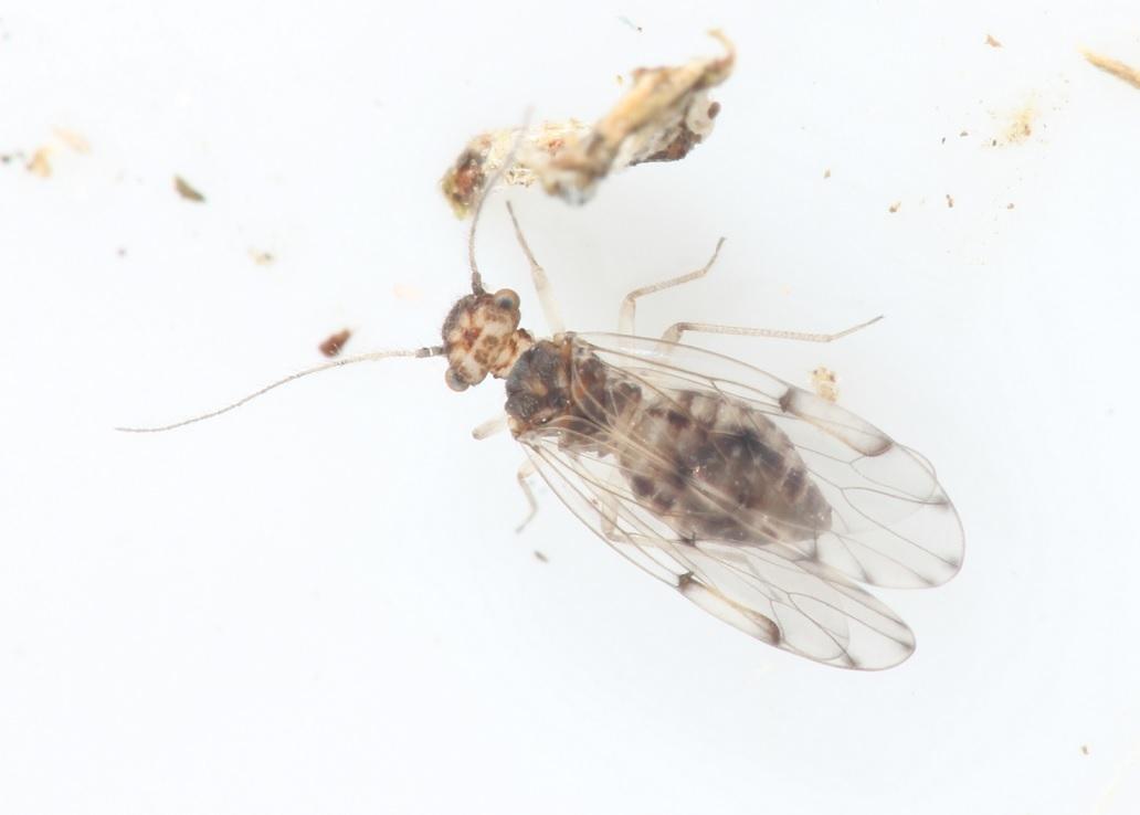 Ectopsocus petersi (Ectopsocus petersi)
