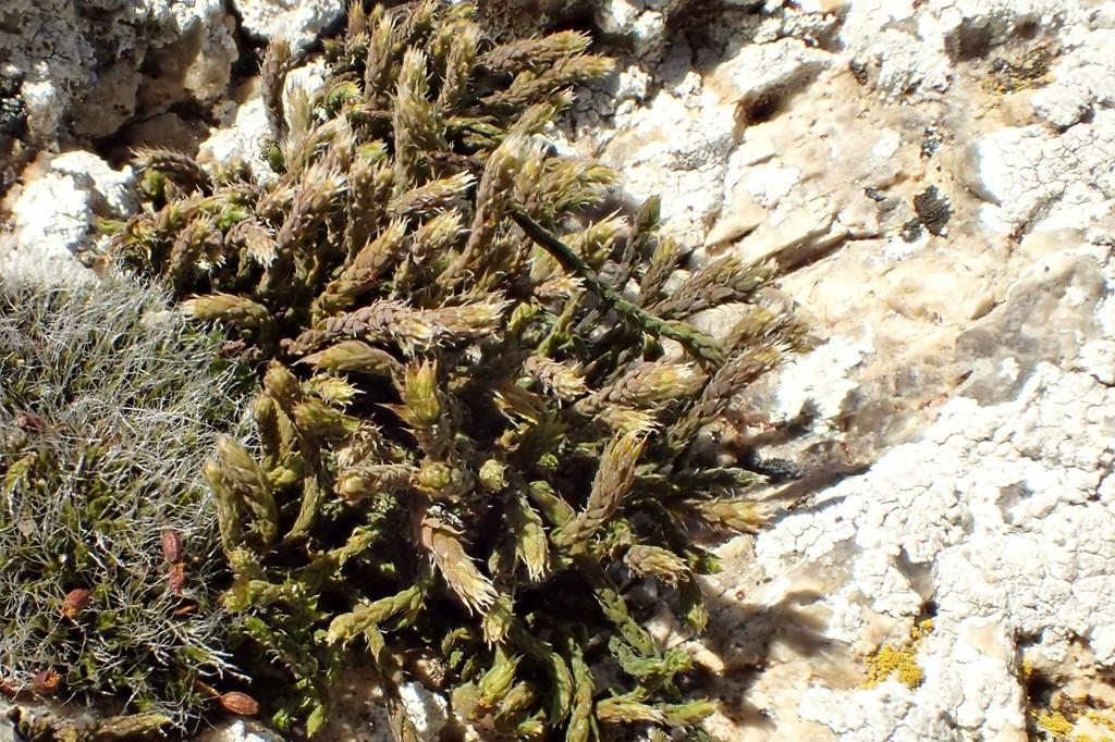 Foto/billede af Hvidspidset Hedwigia (Hedwigia ciliata)