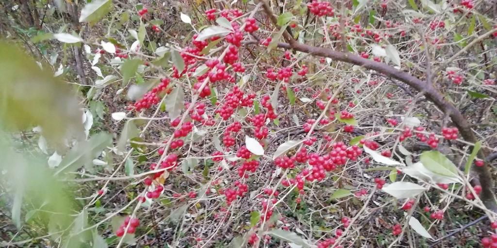 Skærm-Sølvblad (Elaeagnus umbellata)