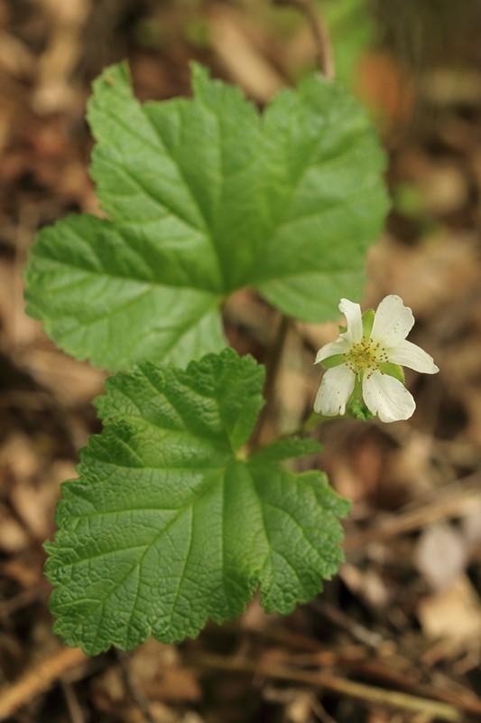 Foto/billede af Multebær (Rubus chamaemorus)