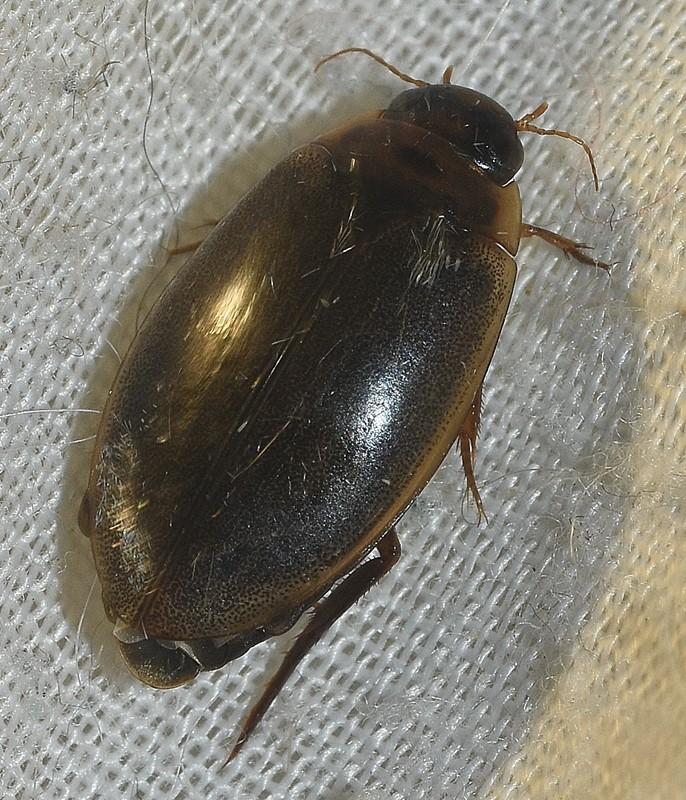 Marmorvandkalv (Rhantus suturalis)