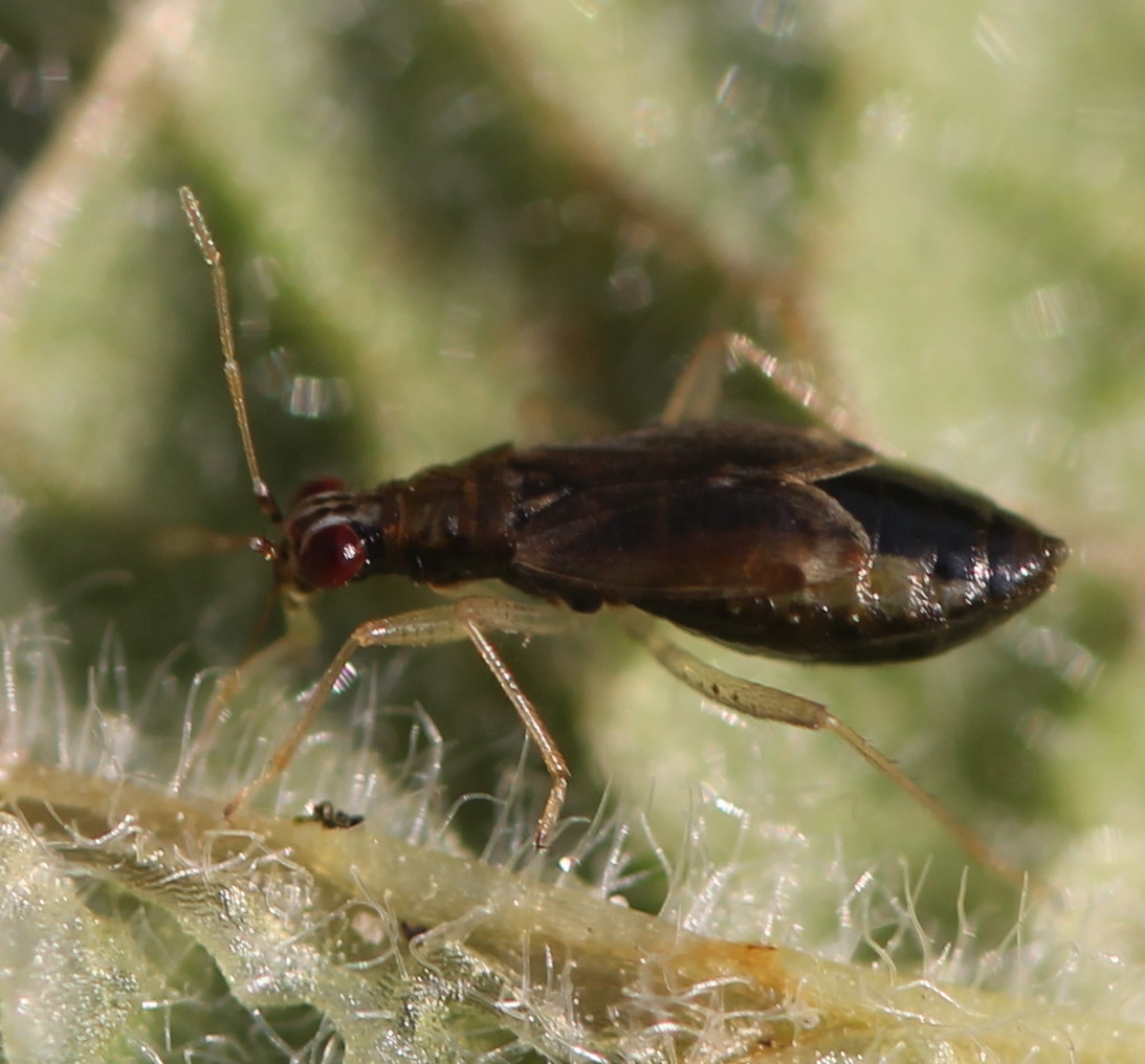Foto/billede af Fingerbølblomstertæge (Dicyphus pallicornis)