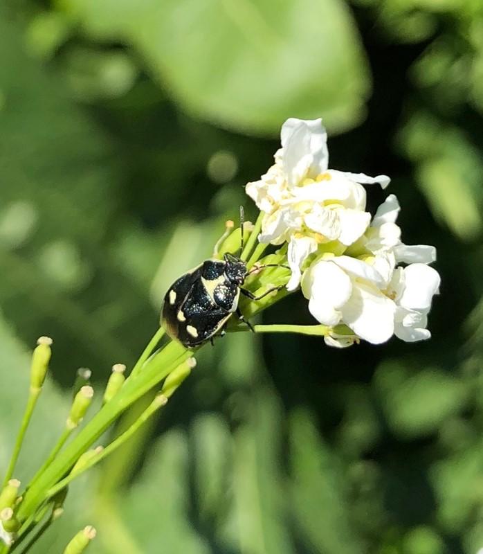 Foto/billede af Almindelig Kåltæge (Eurydema oleracea)