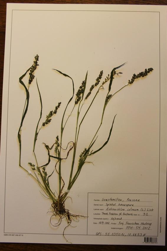 Spinkel Hanespore (Echinochloa colonum)