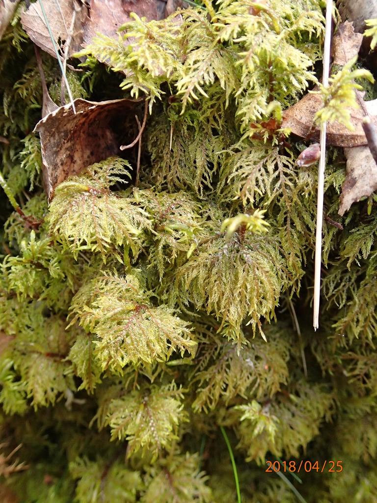 Foto/billede af Almindelig Etagemos (Hylocomium splendens)