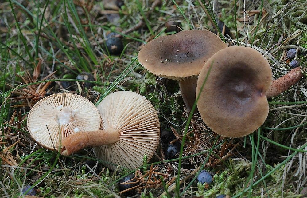 Leverbrun Mælkehat (Lactarius hepaticus)