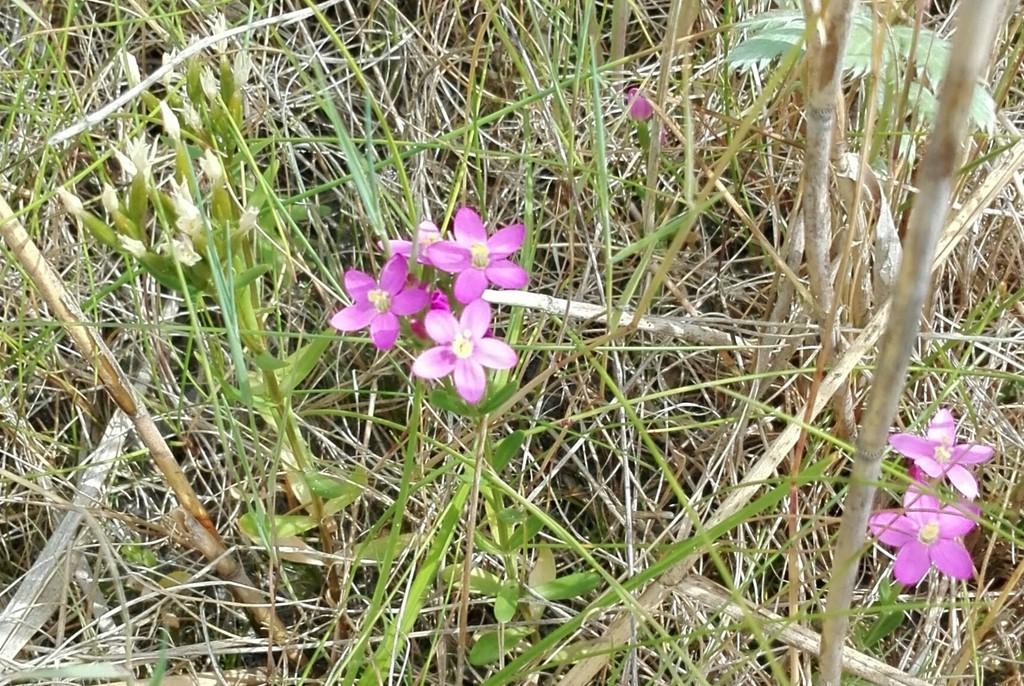 Foto/billede af Strand-Tusindgylden (Centaurium littorale var. littorale)