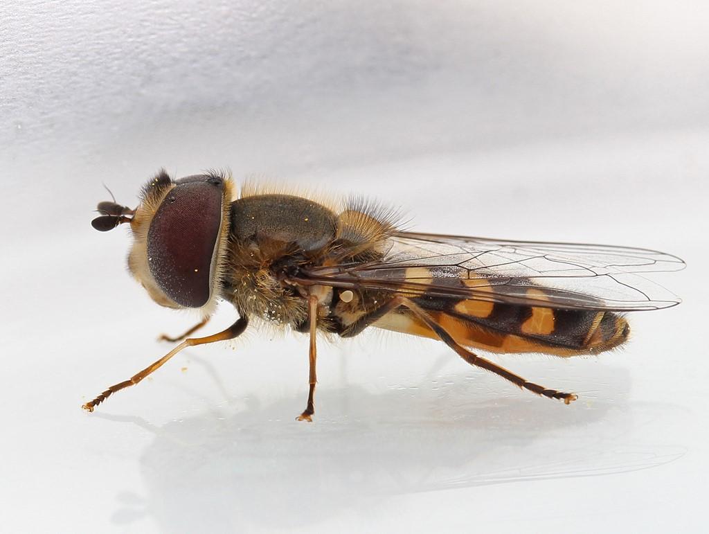 Gulplettet Agersvirreflue (Scaeva selenitica)