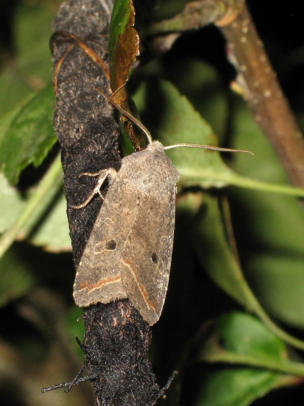 Foto/billede af Pile-Jordfarveugle (Agrochola lota)