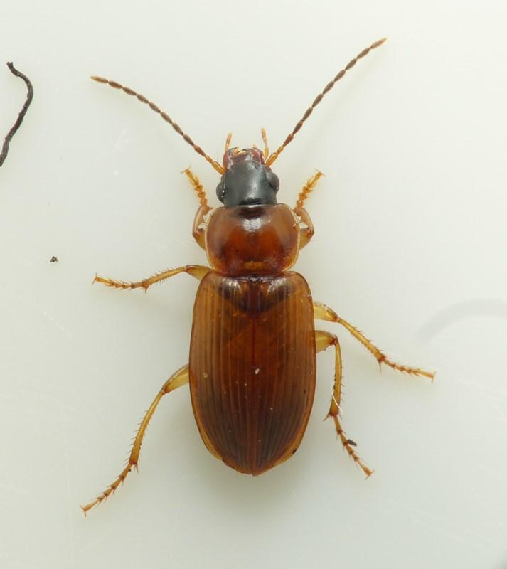 Foto/billede af Lys Damløber (Stenolophus skrimshiranus)
