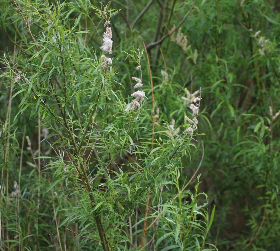 Foto/billede af Bånd-Pil (Salix viminalis)