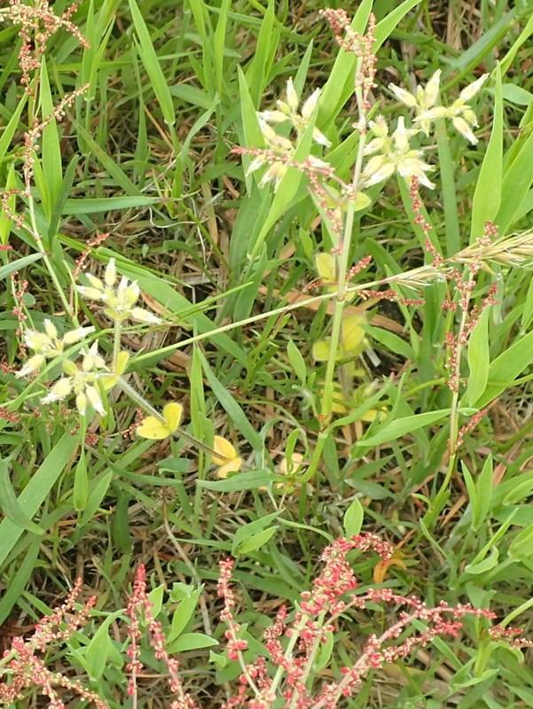 Opret Hønsetarm (Cerastium glomeratum)