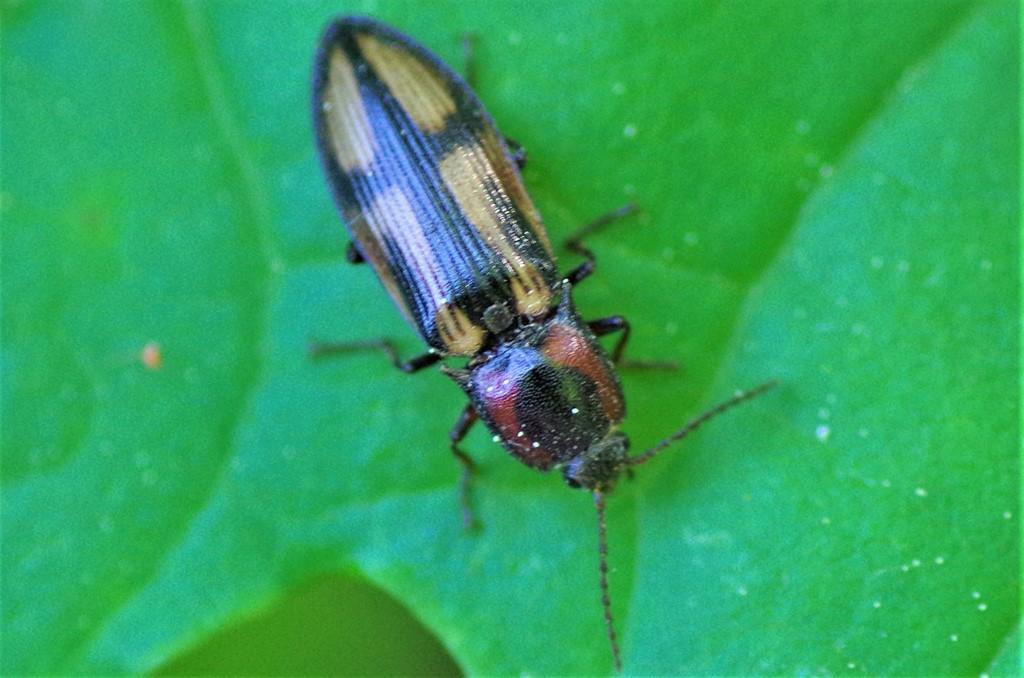 Foto/billede af Korssmælder (Selatosomus cruciatus)