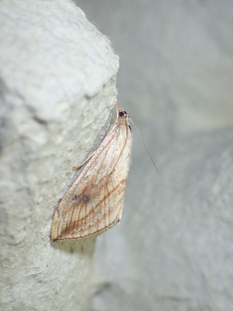 Kålhalvmøl (Evergestis forficalis)