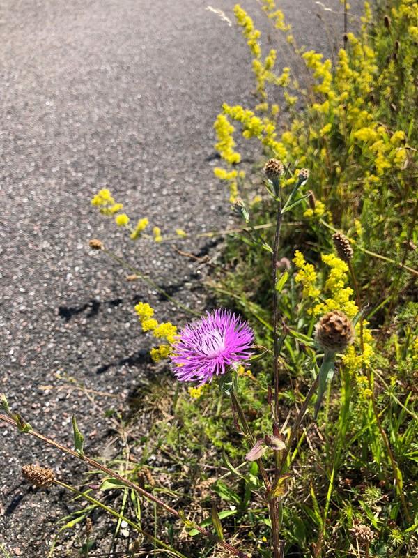 Foto/billede af Hybrid-Knopurt (Centaurea x moncktonii)