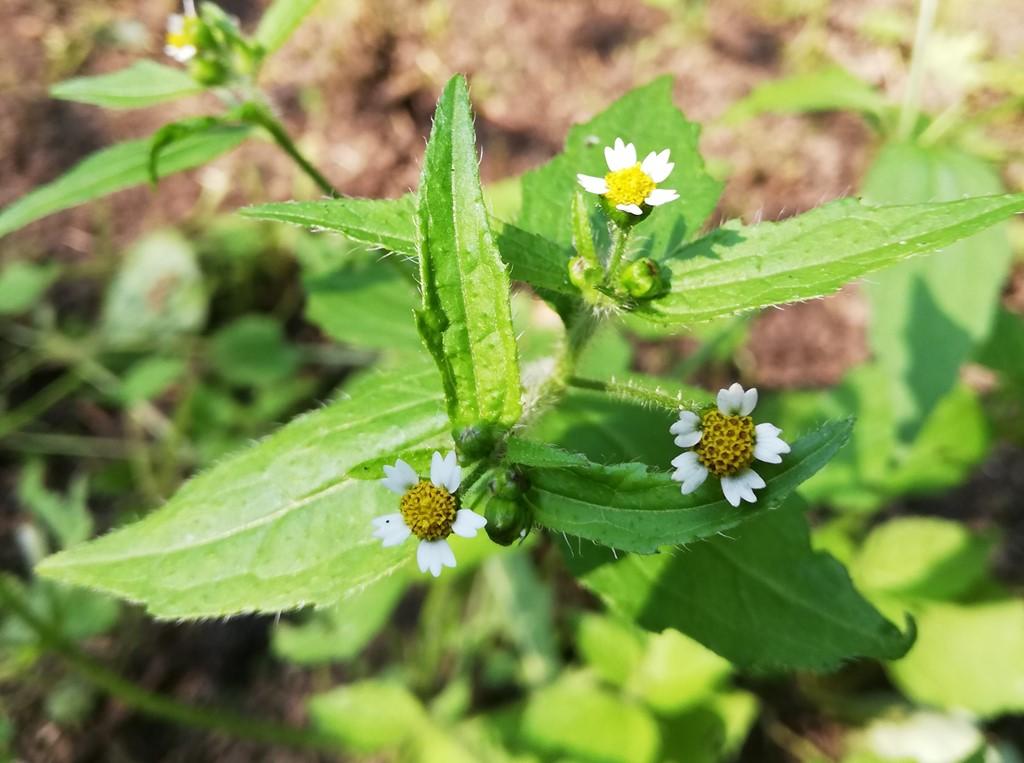 Foto/billede af Kirtel-Kortstråle (Galinsoga quadriradiata)