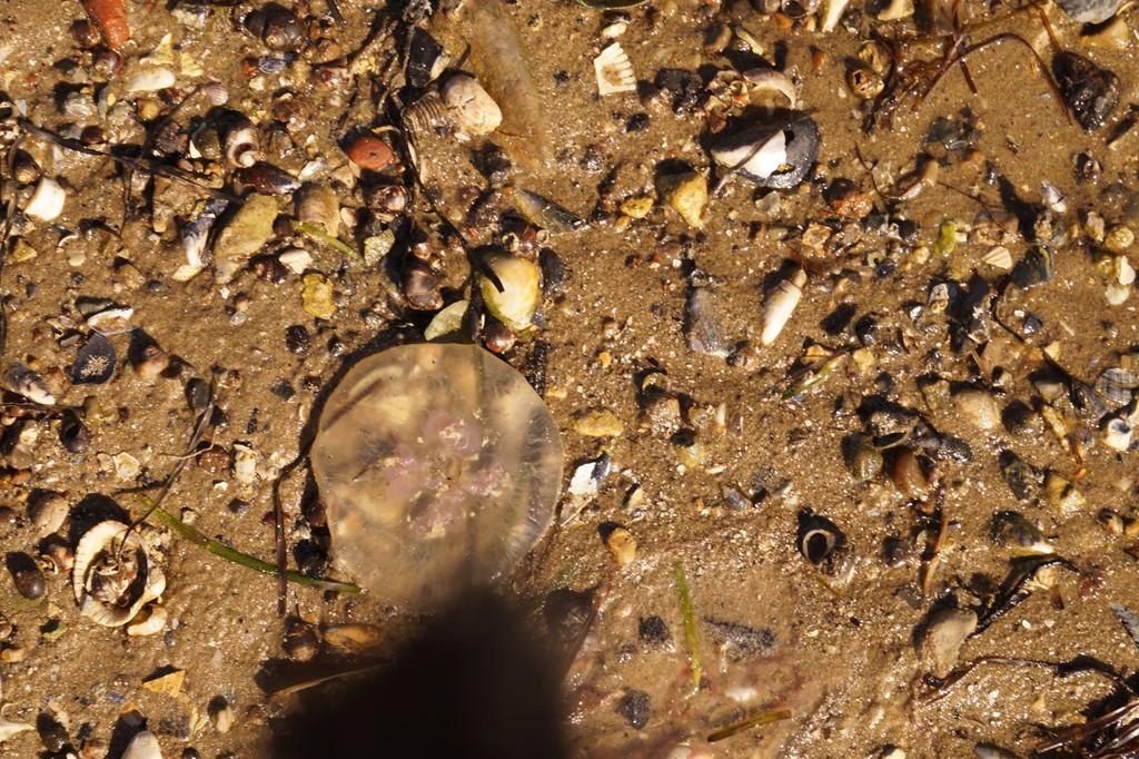 Foto/billede af Almindelig vandmand (Aurelia aurita)