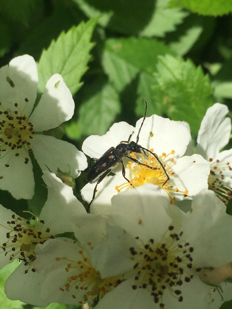 Foto/billede af Seksplettet blomsterbuk (Anoplodera sexguttata)