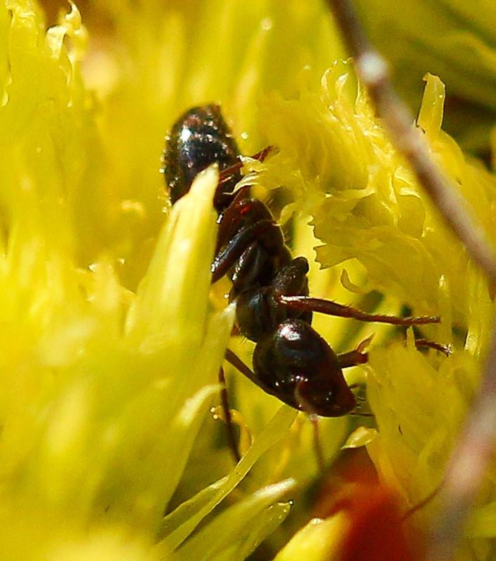 Foto/billede af Mosemyre (Formica picea)