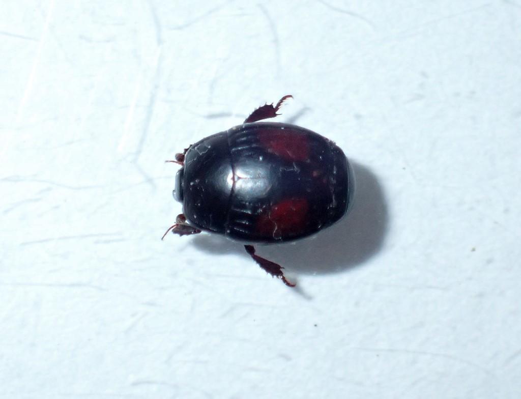 Foto/billede af Purpurstumpbille (Margarinotus purpurascens)