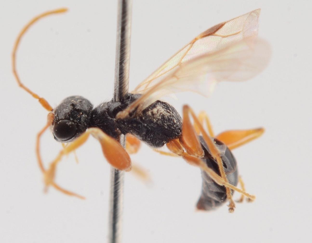 Lonchodryinus ruficornis