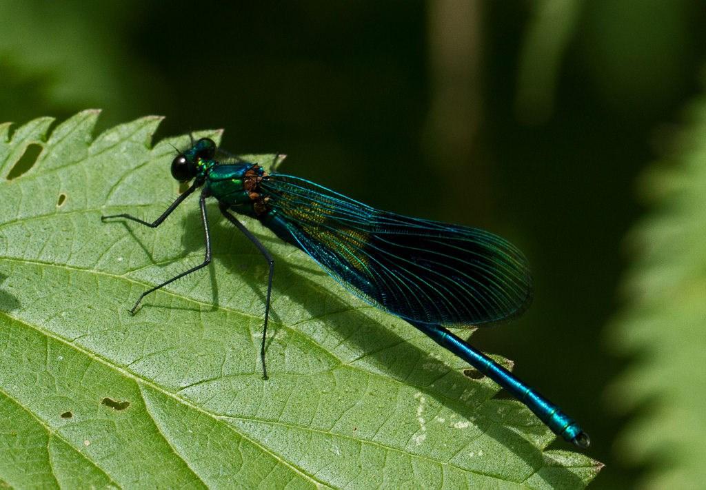 Foto/billede af Pragtvandnymfe ubest. (Calopteryx sp.)