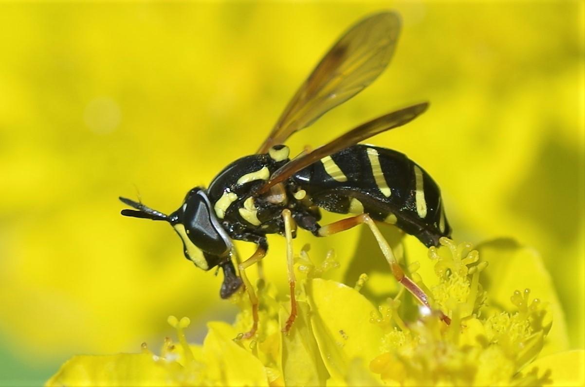 Forårs-Hvepsesvirreflue (Chrysotoxum vernale)
