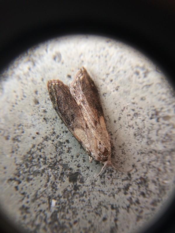 Humlevoksmøl (Aphomia sociella)