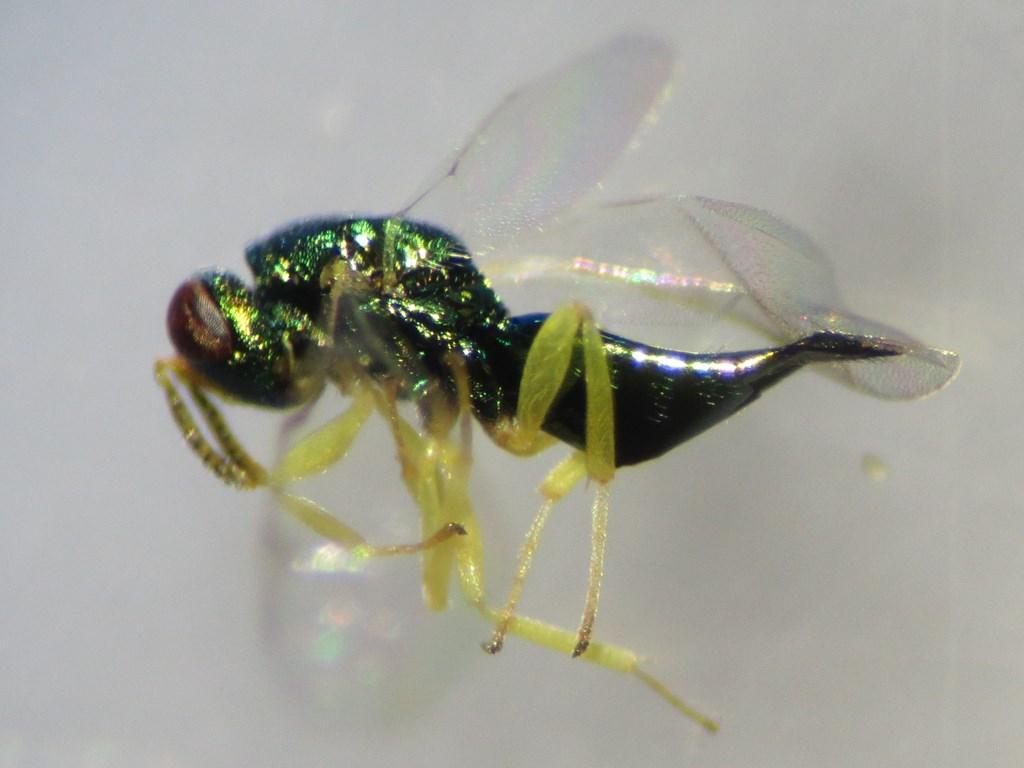 Mesopolobus fasciiventris