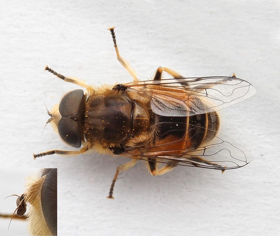 Almindelig Dyndflue