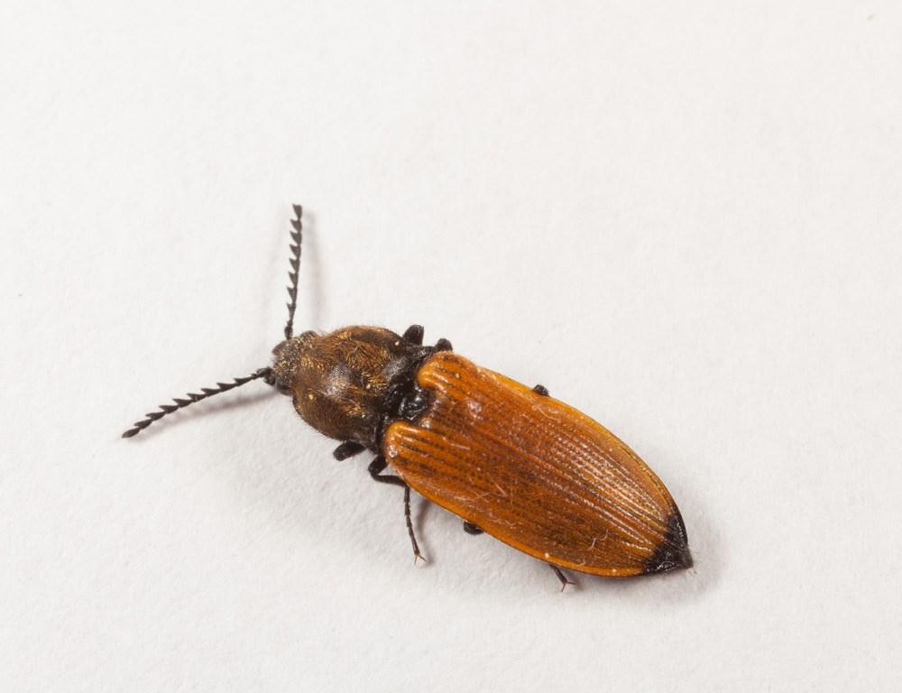 Brungul Kamsmælder (Anostirus castaneus)