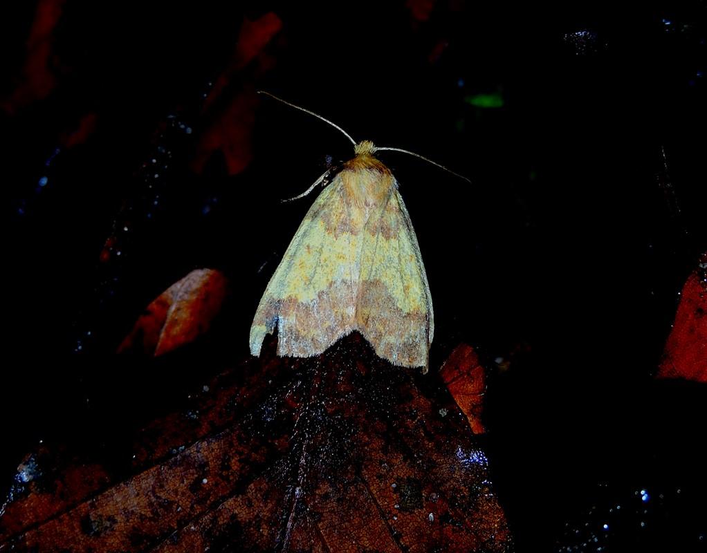 Guldugle (Tiliacea aurago)