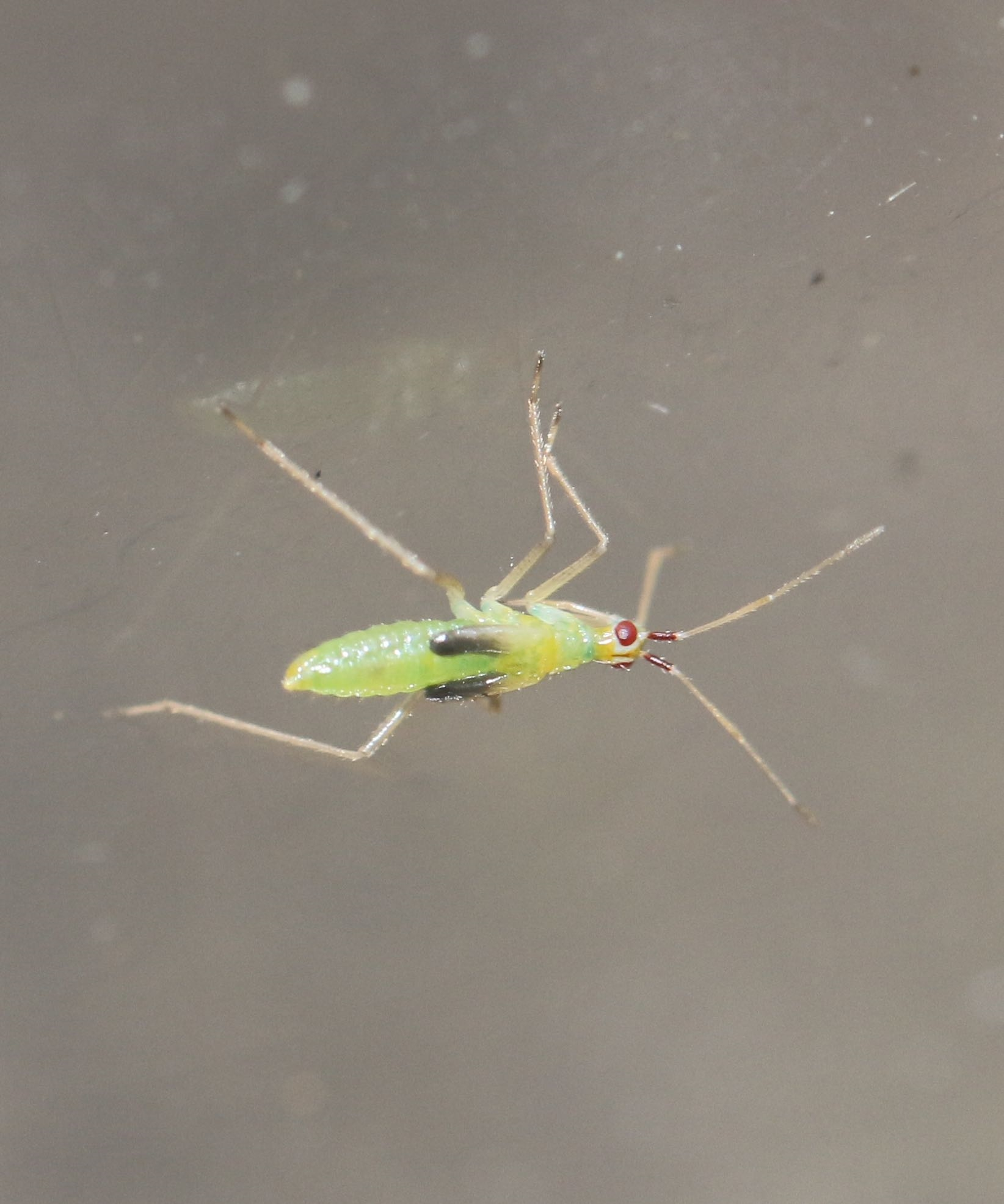 Foto/billede af Dueurtblomstertæge (Dicyphus epilobii)