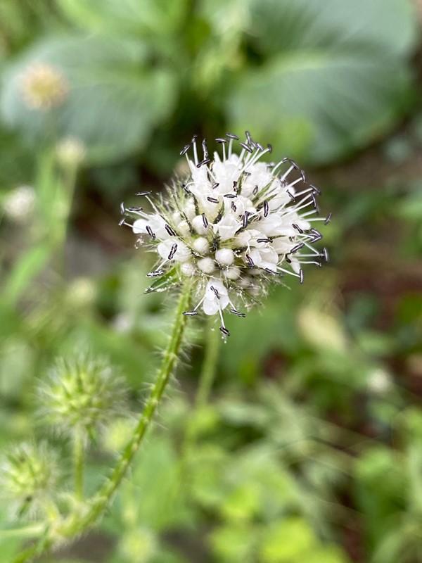Håret Kartebolle (Dipsacus pilosus)