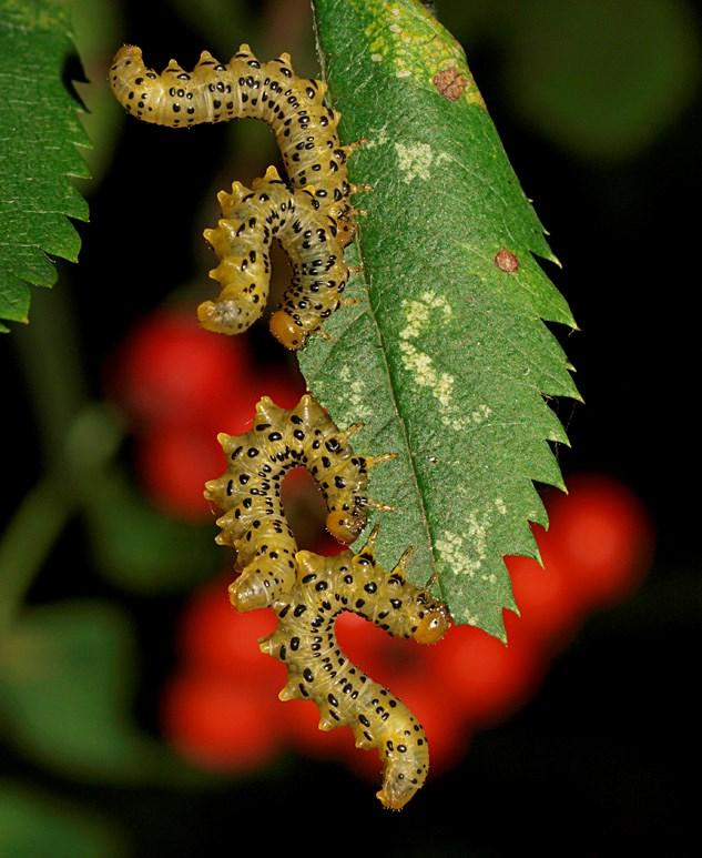 Pristiphora geniculata