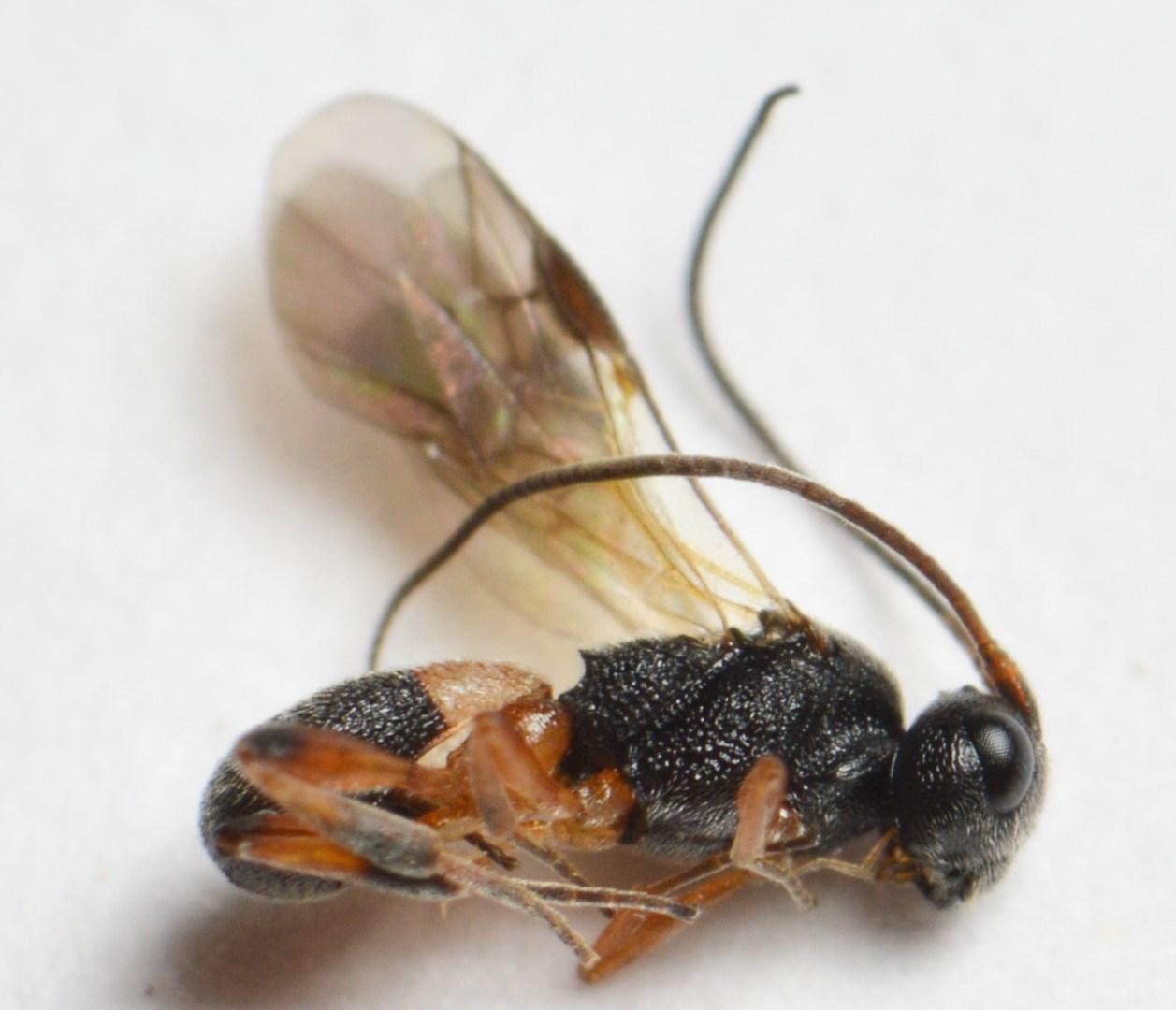 Ascogaster sp.