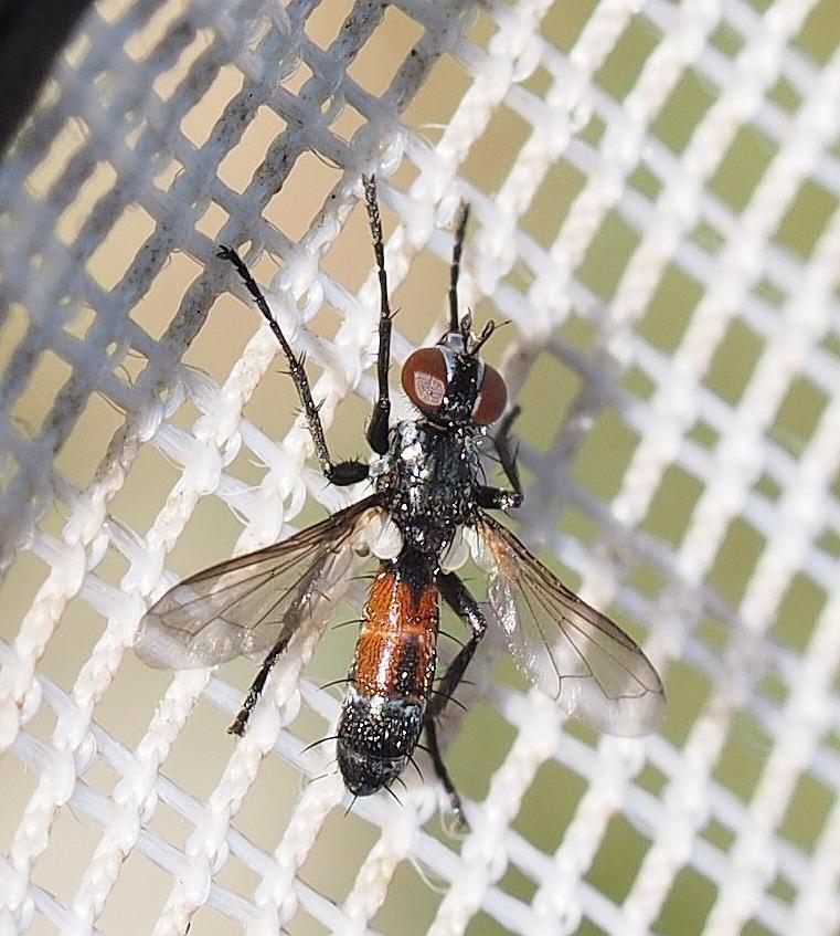 Foto/billede af Brullaea ocypteroidea (Brullaea ocypteroidea)
