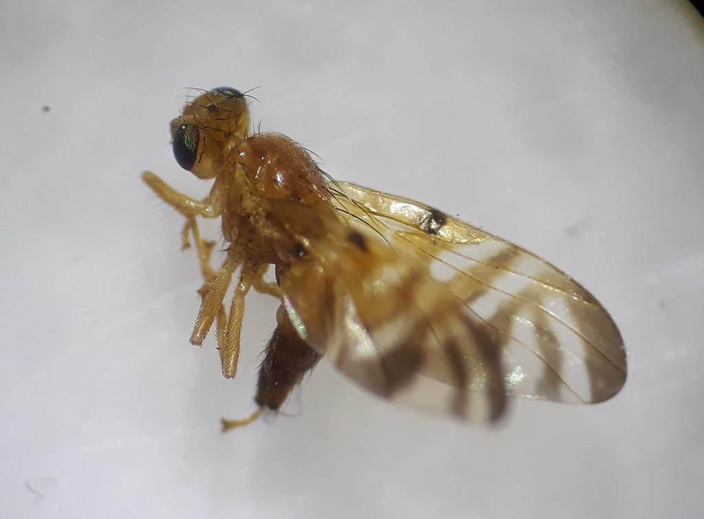 Myoleja lucida (Myoleja lucida)