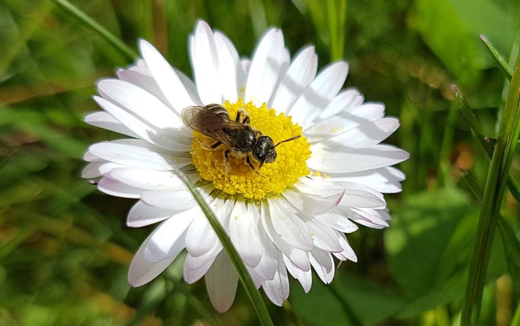 Foto/billede af Bronzevejbi (Halictus tumulorum)