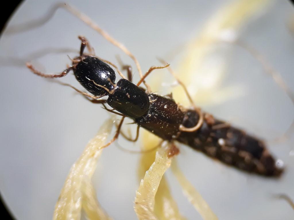 Xantholinus longiventris
