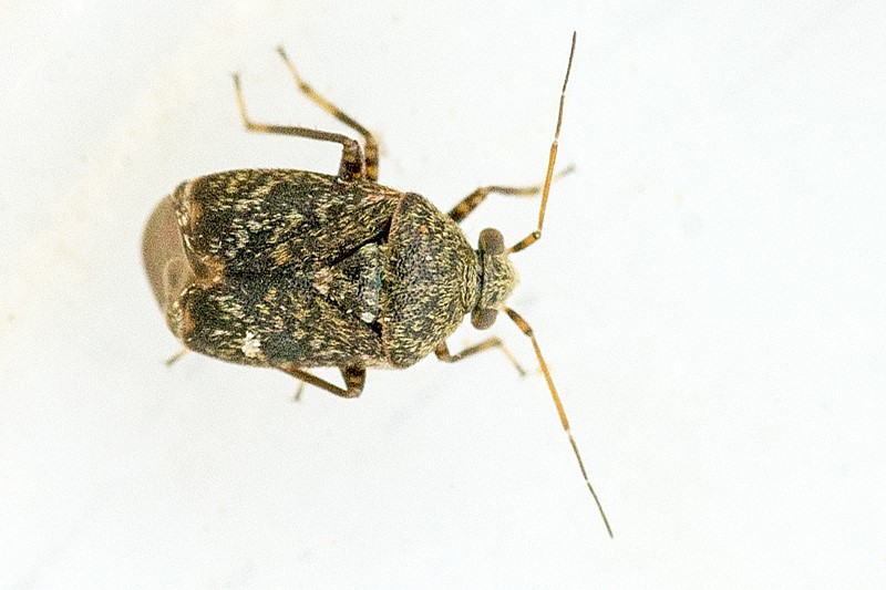Foto/billede af Charagochilus gyllenhalii (Charagochilus gyllenhalii)