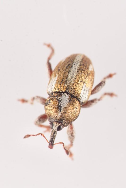 Foto/billede af Tychius quinquepunctatus (Tychius quinquepunctatus)