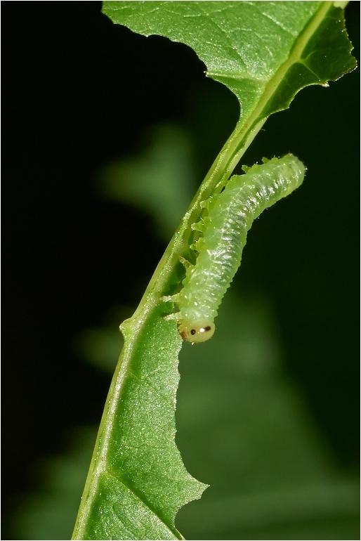 Nematus spiraeae