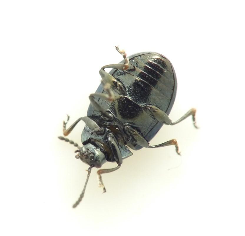 Phaedon concinnus (Phaedon concinnus)
